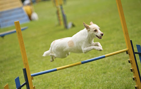 Professional jump dog jumping over a fence.